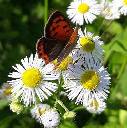 oasi-farfalle