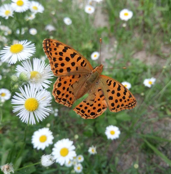 oasi-lepidotteri